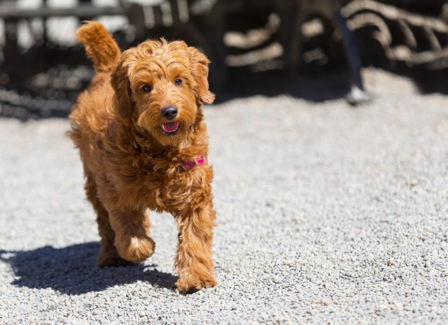 Example of Goldendoodle puppy