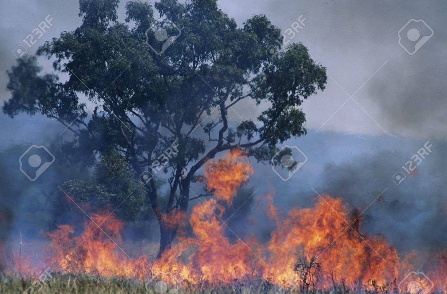 The smoke from these fires have caused multiple species to abandon their territories. (Photo Courtesy of 123RF)